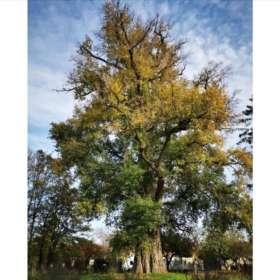 L'arbre de l'année est champenois
